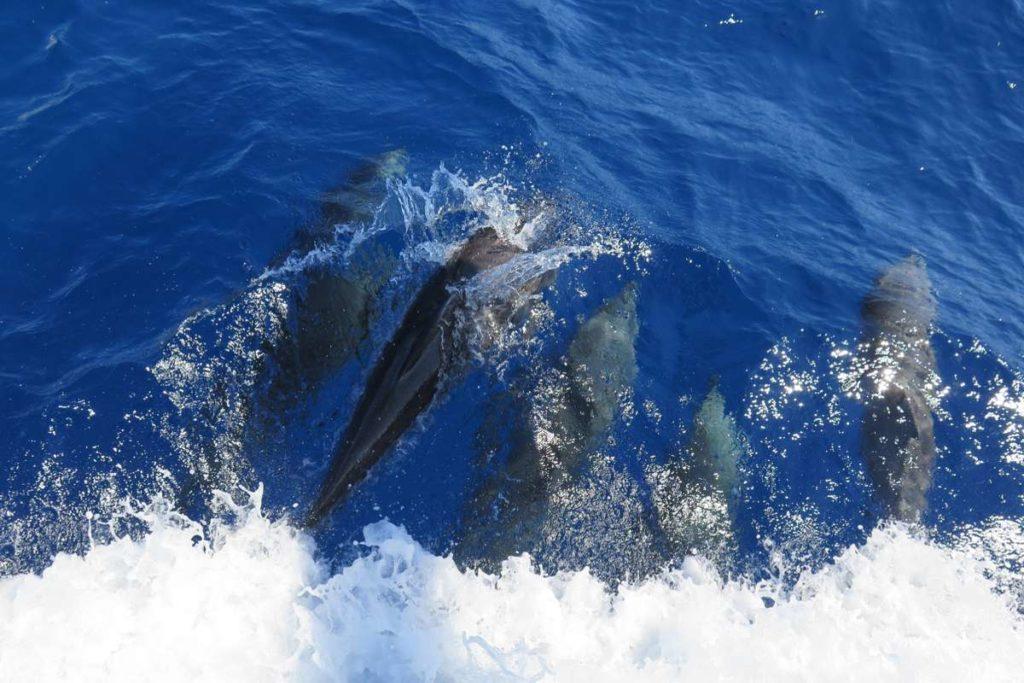 Dolphin Encounters in Komodo Aboard Adelaar
