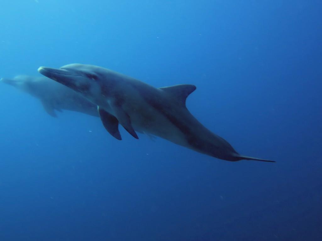 Dolphins in Komodo by Adelaar